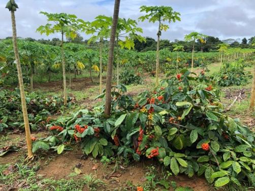 Temporada do Guaraná no Amazonas