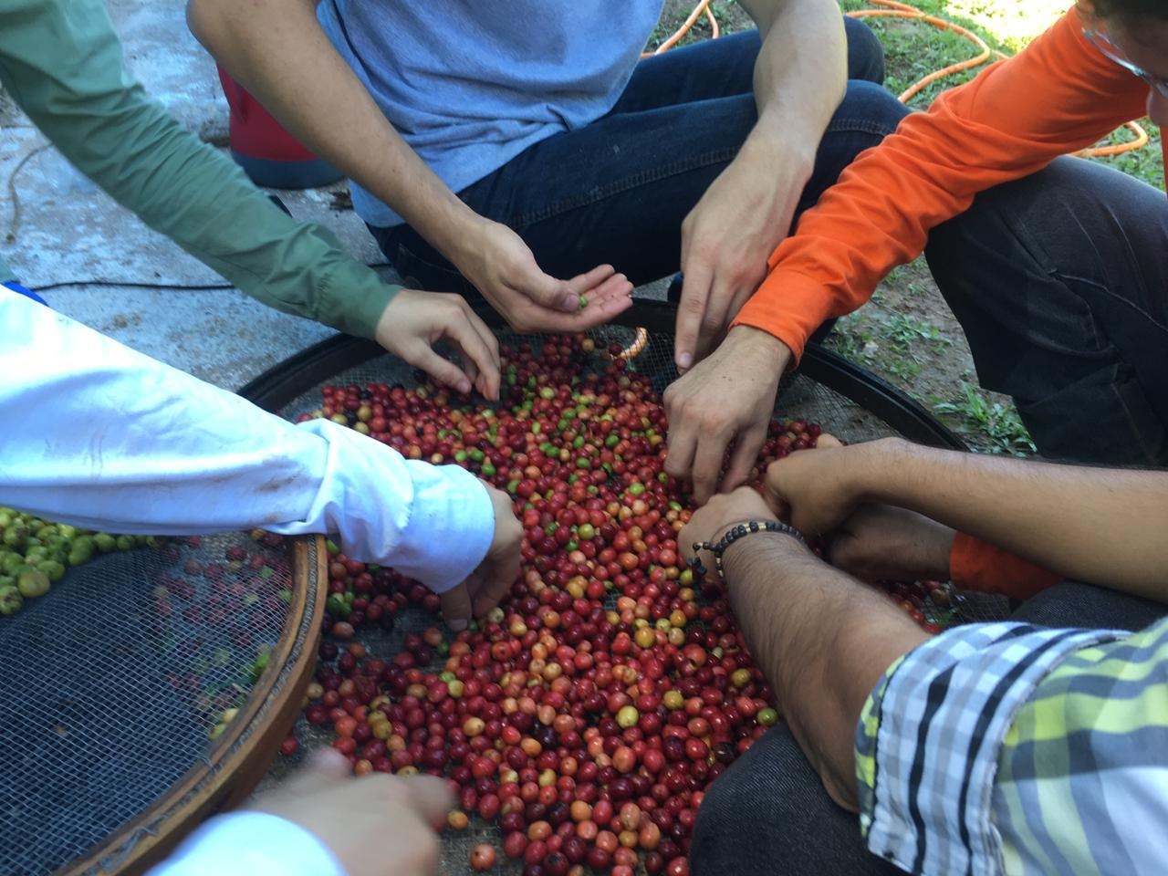 Trabalho de cooperativa fortalece produção de café sustentável no Cerrado mineiro