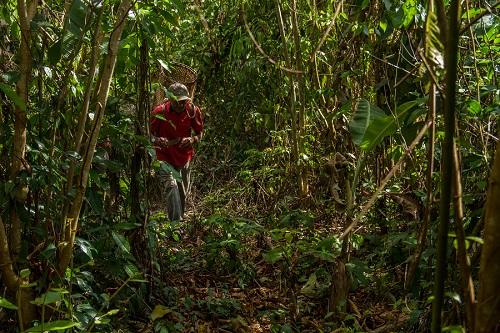 Extrativismo sustentável mantém renda familiar de comunidades na Floresta Amazônica