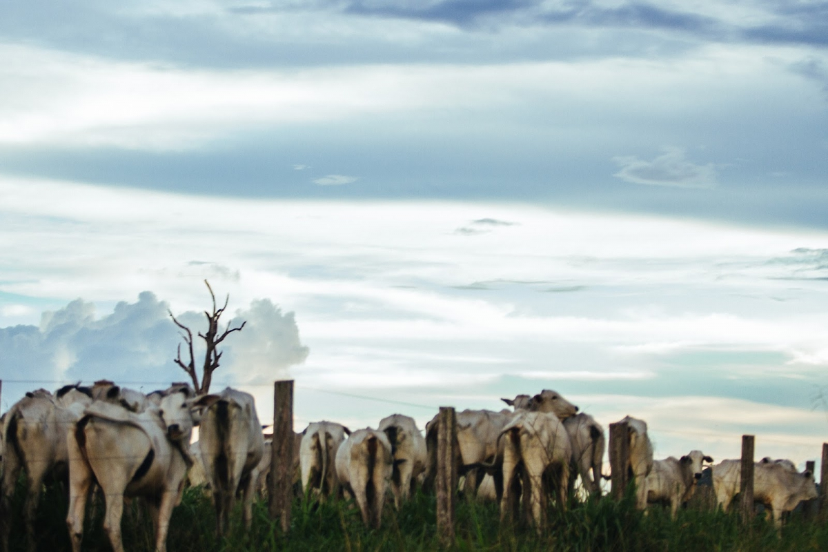 Intensificação da pecuária de corte promove redução das emissões de Gases de Efeito Estufa