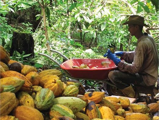 Estimulados por venda para a indústria, agricultores familiares planejam aumentar a produção de cacau em São Félix do Xingu