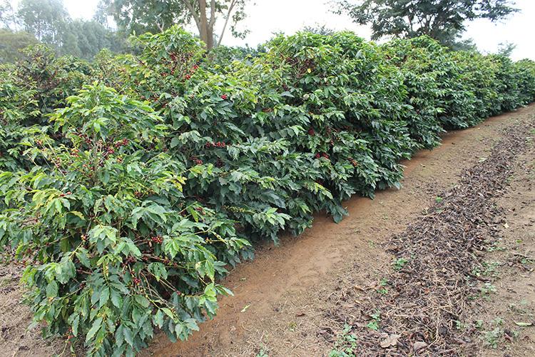Café e bioversidade